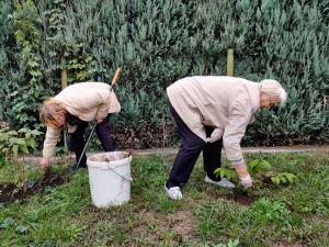 Miniatura zdjęcia: dwie starsze panie plewią trawę